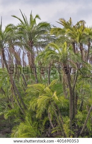 Several palm trees stand in a tight group with a cloudy blue sky overhead. - stock photo