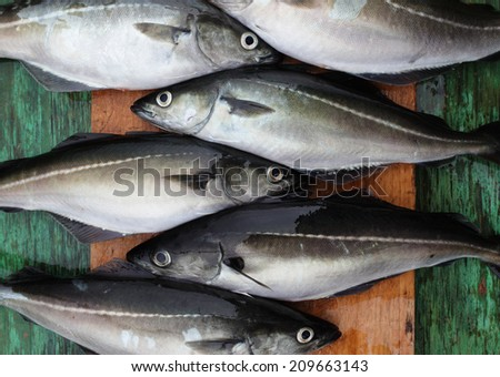 Several pollock / saithe fish on wooden cutting board. Caught at Norwegian sea.  - stock photo
