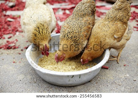 Several red, farm chickens eating food in the countryside - stock photo