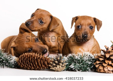Several Red pinscher puppy and New Year (isolated on white) - stock photo