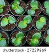 several rows of young potted plants in a greenhouse - stock photo