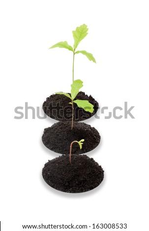 Several seedling oaks on white background - stock photo