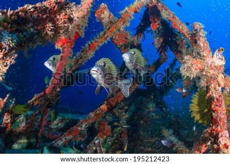 Several sweetlips and glassfish underwater - stock photo