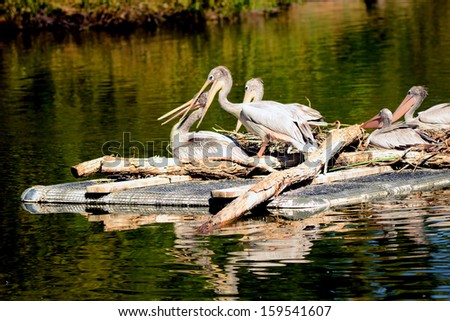 Several White pelicans afloat on a raft - stock photo
