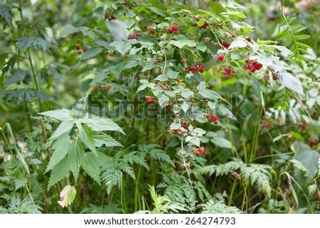 Several wild red raspberries - stock photo