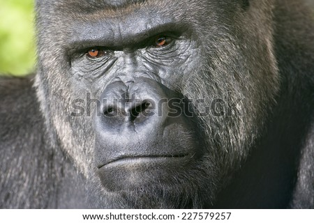 Severe face of a silverback, family leader. The most mighty and biggest monkey of the world. A great ape, human like primate. - stock photo