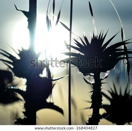 Shadow of milk thistles under sun at dawn - stock photo
