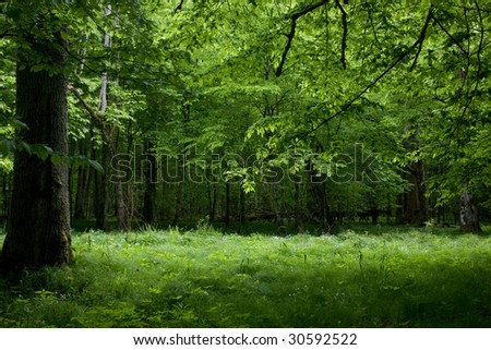 Shady deciduous stand of Bialowieza Forest in springtime with fresh green grassy bottom - stock photo