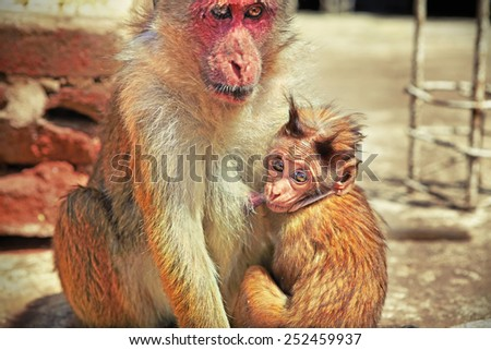 Shaggy baby monkey looking curiously while suckling its mother's breast - stock photo