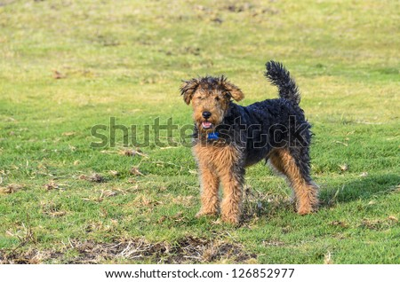 Shaggy dog named Taffy photographed at Mouilli Point in Capetown South Africa - stock photo