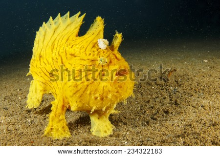 Shaggy Frogfish (Anglerfish) - stock photo