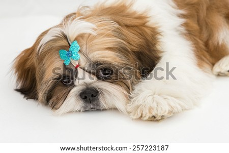 Shaggy puppy Shih Tzu lays on a white background - stock photo
