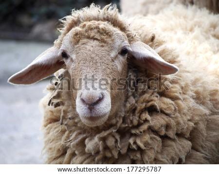 Shaggy sheep - stock photo