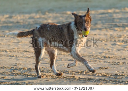 Shaggy wet brown dog playing fetch on the beach. Tennis ball in the mouth looking forward. Late afternoon. - stock photo