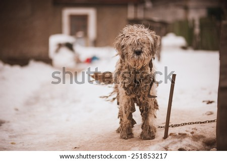 Shaggy white chained old dog  looking sad - stock photo