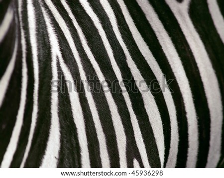 shallow depth of field view of zebra stripes - stock photo
