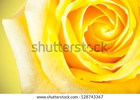 Shallow depth of focus closeup photo of yellow rose - stock photo