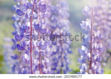 shallow DOF purple lupine flowers blooming field background - summer meadow - stock photo