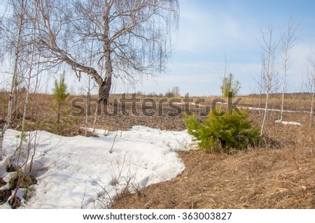 shallow ravine, the old snow, early spring, birch and pine, young, Early spring landscape in a field near the forest. Melting snow on the road in the woods on a sunny day in early spring - stock photo
