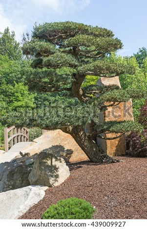 Shaped pine tree in the Japanese garden. Wooden bridge in the background. Vertically. - stock photo