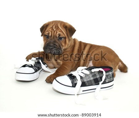 Shar pei puppy that got a hold of the kids shoes, on a white background. - stock photo