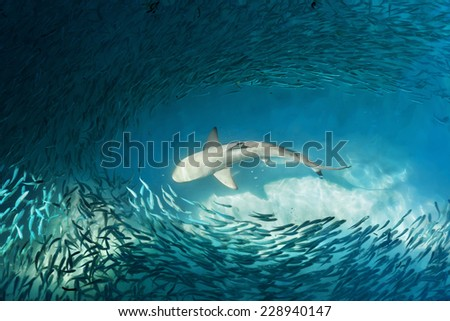 Shark and small fishes in ocean - nature background - stock photo
