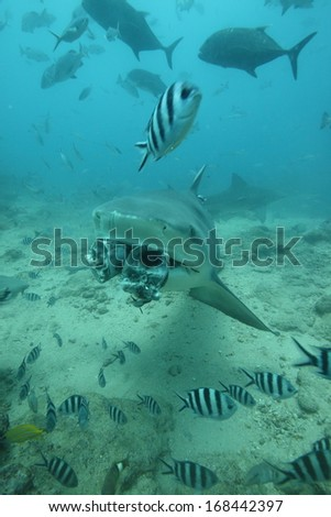 Shark eating tuna - stock photo
