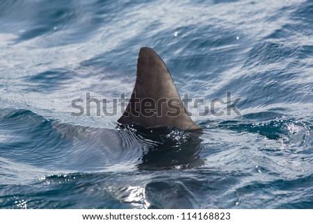 Shark fin above water - stock photo