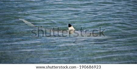 Shark Fin on Ocean Surface - stock photo