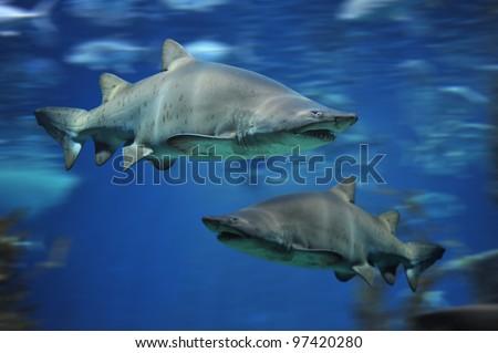 shark fish, bull shark, marine fish underwater - stock photo