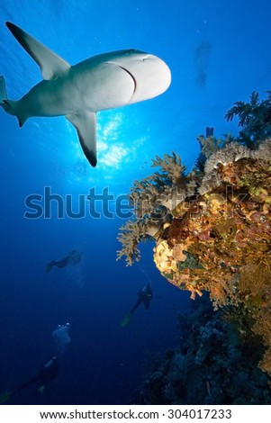 Shark  swimming over divers in background. - stock photo
