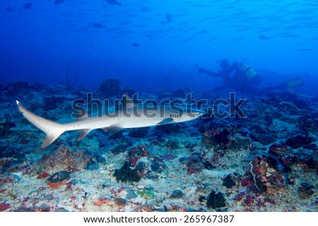 Shark underwater looking at you ready to attack - stock photo