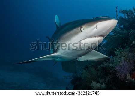 Shark,underwater picture, South Africa - stock photo