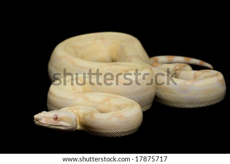 Sharp Albino Red-tailed Boa (B. c. constrictor) on black background. - stock photo