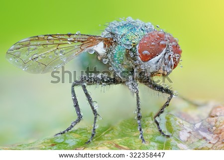 Sharp and detailed photo of Fly (Lucilia Spp. ) with morning dew  - stock photo