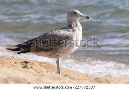 Sharp focus upon a single seagull standing at peace on sandy shores of Lake Tahoe in Nevada. - stock photo