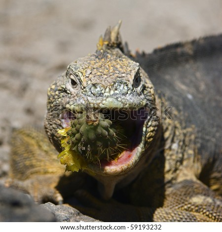 Sharp meal./The Marine Iguana (Amblyrhynchus cristatus) is an iguana found only on the Galapagos Islands - stock photo