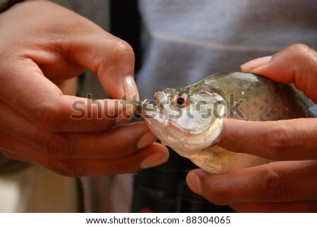 sharp Teeth of Piranha in the jungle of peru - stock photo