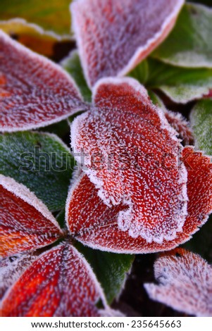 Sharp winter frost crystals on vivid leaves in December - stock photo