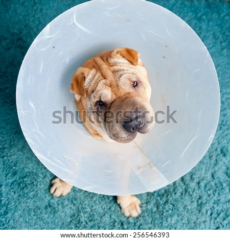 sharpei dog wearing a protective veterinary collar after a surgical operation - stock photo