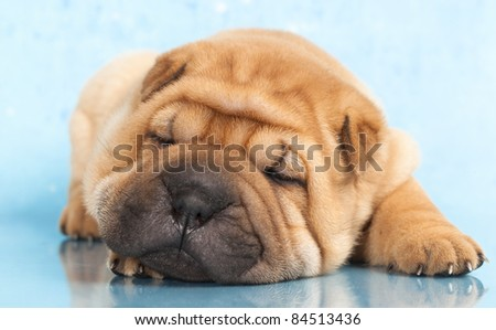 Sharpei in front of a blue  background - stock photo