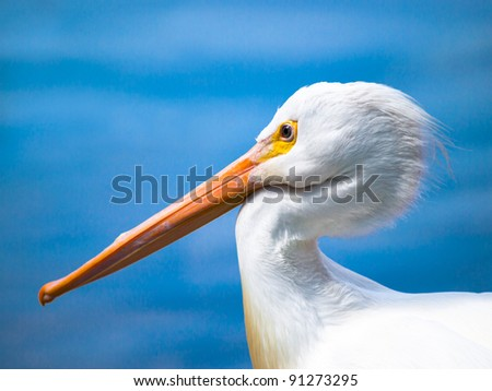 Sharply focused pelican with beak tucked against neck - stock photo