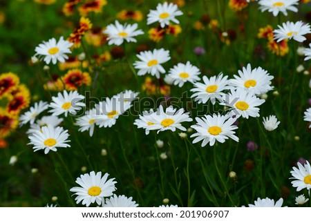 Shasta Daisy on defocused Gaillardia background - stock photo