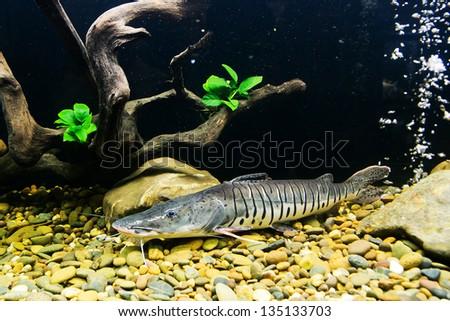 Sheatfish, latin name Phractocephalus hioliopterus, - stock photo