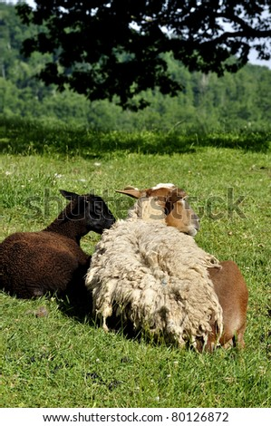 Shedding hair sheep on family farm, Webster County, West Virginia, USA.  Sheep breed is Katahdin and Barbados Blackbelly mix. - stock photo