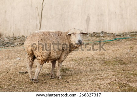 Sheep - stock photo