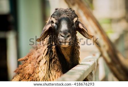 Sheep. - stock photo