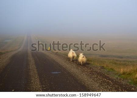 Sheep alongside a dirt road near Hofn in Iceland - stock photo