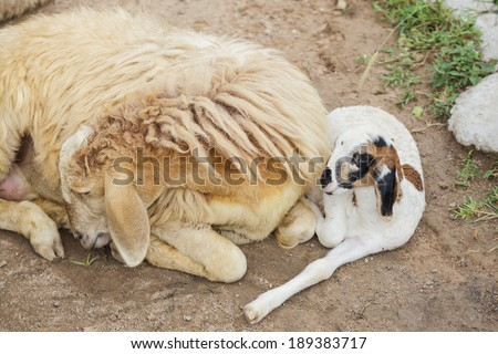 Sheep and baby - stock photo