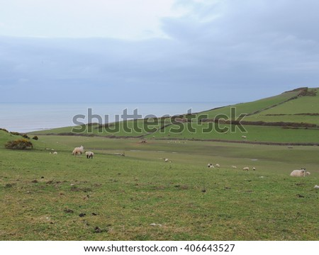 Sheep and Cattle Grazing on a Hillside by The South West Coastal Path on the North Devon Coast at Abbotsham, England, UK. - stock photo